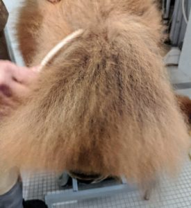 Here's Carlos brushing out his thick double coat - which end is this?