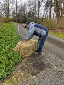 Here's Pete putting down another bale where rains tend to flow into this bed of pachysandra.