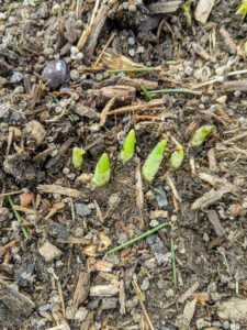 In the spring, the leaves are the first to break through the soil. Then approximately one month later, the flowering shoot begins to appear. We are still a few weeks away from the start of spring, but these leaves are already coming through.