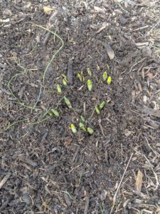Here is another patch of daffodil bulb leaves. Because of the early growth, I wanted the beds topped with a layer of mulch to keep them protected from any abrupt weather changes. The flowering shoots still need time to develop. A cold snap may cause them to yellow a bit, but the bulb should send up new growth once temperatures warm up consistently.