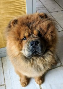 This is Emperor Han. He is almost two years old. He is the grandson of my dear late G.K. The Chow should have a large head with a broad, flat skull, a short, deep muzzle, and very expressive eyes – hard to resist this face!