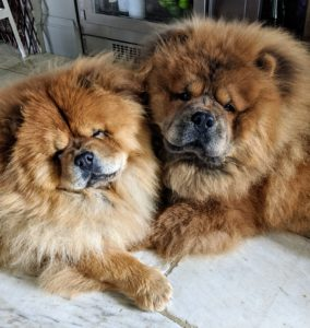 And here's a photo taken just the other day of Qin and Han - they are half brother and sister from two different litters. Their mom is Peluche, my other Chow, who is staying with my breeder, Karen of Pazzazz Kennels. Chows are known to be serious minded, dignified and very bright. Chow Chows also tend to have independent spirits – some would call them even catlike. They are very loyal companions, and love to be with their families.