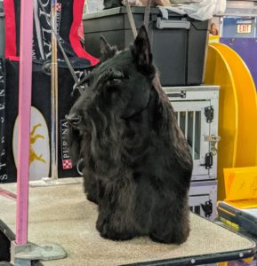 "The Scottish Terrier, popularly known as a ""Scottie,"" is a small, compact, short-legged, sturdily-built dog of good bone and substance. His head is long in proportion to his size distinctive furnishings at the beard, legs, and lower body."