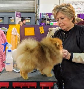 The Pomeranian is a compact, short-backed, active toy dog of Nordic descent. The double coat consists of a short dense undercoat with a profuse harsh-textured longer outer coat. The heavily plumed tail is one of the characteristics of the breed.
