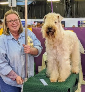 The Soft Coated Wheaten Terrier is a medium-sized, hardy, well balanced sporting terrier, square in outline. He is distinguished by his soft, silky, gently waving coat of warm wheaten color and his particularly steady disposition.