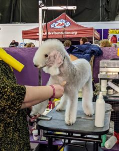 This is a Bedlington Terrier – it looks very much like a lamb. It is named after the mining town of Bedlington, Northumberland in North East England and was originally bred to hunt vermin.