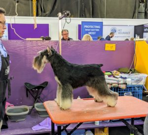 The bold, bewhiskered Schnauzer is a high-spirited farm dog from Germany. They are the sometimes-willful but ever reliable dogs. The hard, wiry coat comes in three color patterns: salt and pepper, black and silver, and solid black.