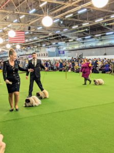 The breed shows happen in large rings, where the dogs are walked around to display their gaits and overall appearance.