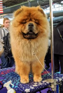 And here is Buddakan - my late G.K.'s son. He is a gorgeous specimen of the breed. The Chow Chows will be in the ring very soon.