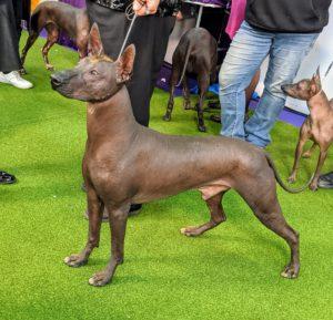 This is the Xoloitzcuintli - pronounced SHOW-LOW-ETZ-QUEENT-LEE. It is also known as the Mexican Hairless. It comes in three sizes - toy, miniature and standard. The breed is one of the world's oldest and rarest breeds, and is said to be the first dog of the Americas.