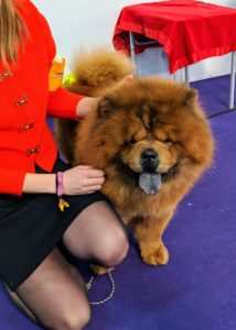 This is Gibbs, Emperor Han's father, who also showed. He is a beautiful boy. This Chow is showing the breed's distinctive blue-black tongue.