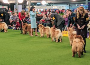 In the ring, the dogs are asked to line up in a stack, so the judge can easily walk by each one and assess its appearance.