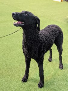 The Curly-Coated Retriever was originally bred in England for upland bird and waterfowl hunting. It is the tallest of the retrievers and is easily distinguishable by the mass of tight curls covering its body.
