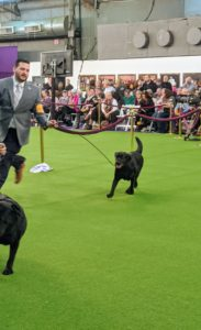 Here's Safari going around the ring. The purpose of breed conformation shows is to evaluate breeding stock. Judges select winners based on their ability to contribute and improve the next generation of dogs. Safari is an excellent example of what a true Labrador Retriever.