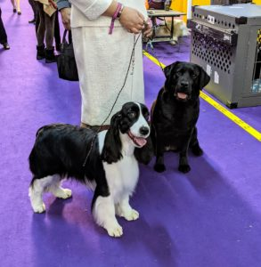 Slightly bigger than the Cocker Spaniel is the English Springer Spaniel. The English Springer Spaniel is a sweet-faced, lovable bird dog of great energy, stamina, and brains. On the right, a black Labrador Retriever.