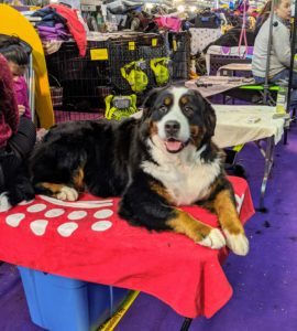 The Bernese Mountain Dog is one of the four breeds of Sennenhund-type dogs from the Swiss Alps. Bred from crosses of Mastiffs and guard-type breeds, Bernese Mountain Dogs were brought to Switzerland by the Romans 2000 years ago. The thick, silky, and moderately long coat is tricolored: jet black, clear white, and rust.