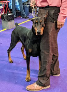 The Doberman Pinscher is a medium-large breed that was originally developed around 1890 by Karl Friedrich Louis Dobermann, a tax collector from Germany. The Doberman has a long muzzle, stands on its pads and is muscular, fast, and powerful. Full-grown, a Doberman stands between 24 to 28 inches at the shoulder.