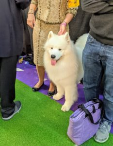"The Working Group Samoyed has a thick, white, double-layer coat. They are powerful, tireless, and known to ""smile."" The upturned corners of the mouth actually serve a purpose - they keep ""Sammies"" from drooling, preventing icicles from forming on the face."
