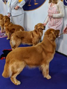 I am sure you are familiar with this breed - the Golden Retriever - the exuberant Scottish gun dog stands among America's most popular dog breeds. They are serious workers at hunting and field work, as guides for the blind, and in search-and-rescue. They excel at obedience and other competitive events and have an endearing love of life when not at work.