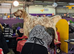 The English Setter is a medium-size breed of dog. It is part of the setter group, which includes the red Irish Setters, Irish Red and White Setters, and black-and-tan Gordon Setters. The mainly white body coat is of medium length with long silky fringes on the back of the legs, under the belly and on the tail.