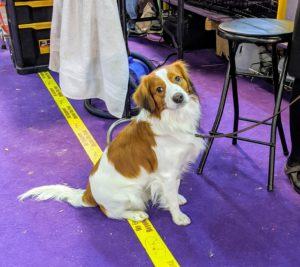 "The Nederlandse Kooikerhondje is a small spaniel-type breed of Dutch ancestry that was originally used as a working dog, particularly to lure ducks. ""Kooikers"" were popular in the 17th and 18th centuries and appeared in the paintings of Rembrandt and Jan Steen. The breed is lively, agile, self-confident, good-natured and alert."