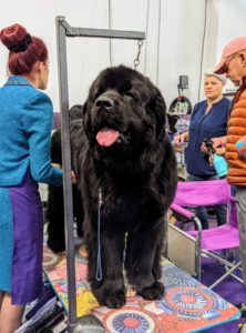 The Newfoundland dog can be either black, brown, or white-and-black. The massive Newfoundland is a powerful working dog of heavy bone, but also sweet-tempered and great with children.