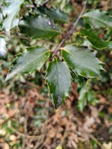 Holly's glossy leaves look crisp and beautiful all year long. They have alternate simple leaves, and the leaves of many species have wavy margins tipped with spines.
