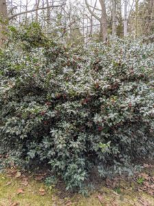 The female holly shrubs produce long-lasting red berries in the fall, but to grow holly berries, one needs to plant a few male shrubs among the female ones for pollination.