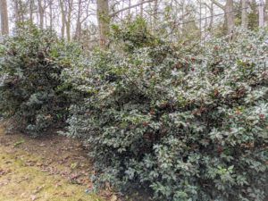 I have a long line of holly shrubs growing near my Summer House. These evergreens create a nice dense hedge that can grow up to 20 feet high and can be trimmed into precise shapes or left to grow more naturally.