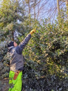 Holly shrubs can become unwieldy if left unpruned. Therefore, trimming holly is important for keeping the overall appearance in tip-top shape. Chhewang looks out for branches that aren't growing in the desired direction, branches, twigs, and limbs that cross and may rub against each other, and any nuisance growth, such as one plant that interferes with the healthy development of another.