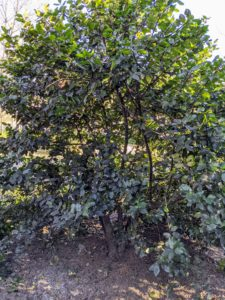 Here is a male holly shrub. Typically, it takes one mature male per acre of females to provide the pollen for honeybees to pollinate the flowers and to create berries.