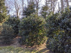 And here is a finished section of pruned holly. These evergreen shrubs make an elegant, natural fence and the lush texture of the foliage blends seamlessly into the landscape. I am so pleased with how these shrubs have developed over the years.