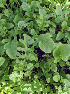 Here is a crop of arugula. Arugula is a cruciferous vegetable that provides many of the same benefits as broccoli, kale, and Brussels sprouts. Arugula leaves, also known as rocket or roquette, are tender and bite-sized with a tangy flavor. My chicks love arugula - they rush to it as soon as it's placed in their enclosure.