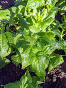 And so will the spinach. We harvest a lot of spinach all year long. Spinach is an excellent source of vitamin K, vitamin A, vitamin C, folate, and a good source of manganese, magnesium, iron and vitamin B2.