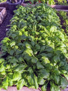 We grow several beds of spinach in this greenhouse. All these plants are grown organically and have no chemical taste at all.