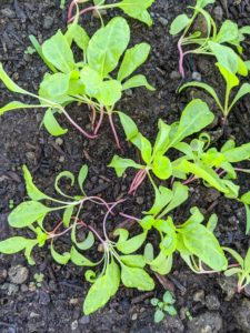 Next to the more mature Swiss chard are these younger Swiss chard plants - again, showing good succession planting practices.