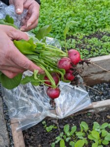 And look at these beautiful radishes. Elvira picks another few from the garden.