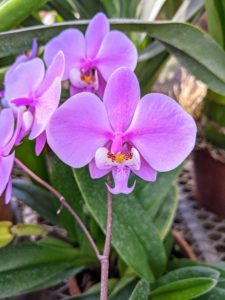 This is Phalaenopsis schilleriana 'Wilson'. Phalaenopsis, the moth orchid, is perhaps the best orchid for growing in the home and is also a favorite with greenhouse growers. Well-grown plants can flower often, sometimes with a few flowers throughout the year, though the main season is late winter into spring.
