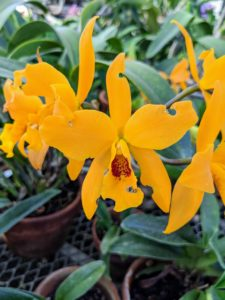 This is Rhyncholaeiocattleya My Orange 'NN' - a Cattleya hybrid. It has fantastic orange flowers. It is an easy growing plant that likes filtered light, especially if kept outside during summer. When watering, keep it slightly more evenly moist at the roots when in bud or bloom.