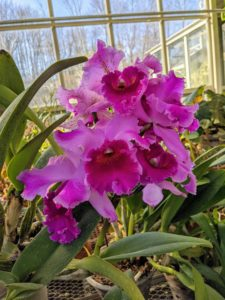 """This is a 'Martha Stewart' Cattleya orchid. The Cattleya is a genus with more than 100-species and numerous hybrids, which range in bloom size, color, and smell. This was given to me several years ago by Kalapana Tropicals. Cattleya orchids are among the most popular. They have often been called """"corsage orchids"""" or """"Queen of orchids"""" because of their big, showy flowers. http://www.kalapanatropicals.com/index.php"""