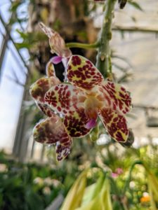 This orchid's mottled flowers are cream to yellow with dark burgundy spots.