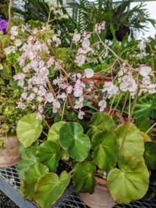 Rhizomatous begonias should be fed a general-purpose fertilizer every other week during spring and summer.