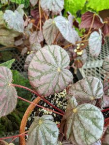 Begonias dislike wet feet. Between waterings, let the soil dry out slightly. And for the best results, place pots in a warm room with bright indirect light.