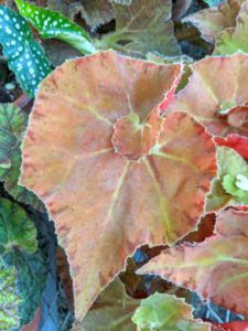 As you can see, I chose an elegant, spiraled-leaf begonia. It has a compact growth habit and is about eight inches in height with a mounding display of beautiful leaves.