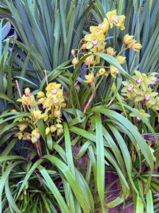 This orchid is Cymbidium 'Apple Green.' The people of ancient China considered Cymbidium flowers as 'Lan Hua', or the embodiment of human perfection. In ancient Japan, the flowers were treasured by royalty and were considered symbols of wealth.