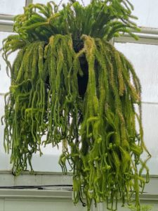 There is something to see at every turn. This is called Huperzia squarrosa or a tassel fern. This is a fern relative that grows as an epiphyte, like an orchid, with fuzzy hanging stems. The tassels are stems covered with pale green leaves. As the tassels grow, they cascade making this great for hanging baskets.