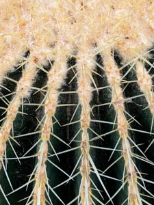 The Echinocactus grusonii is drought tolerant and needs very little care and attention to grow well. When handling, it's best to use gloves to protect one's hands from the prickly spines.