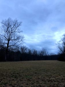 On the left is the great sycamore tree - the symbol of my farm. The mighty American sycamore is a wide-canopied, deciduous tree that grows to about 75 to 100 feet tall, with a massive trunk and open crown of huge, crooked branches.