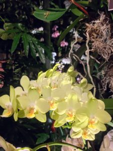 This one is Phalaenopsis 'Taida Smile'. This orchid has multi-branching spikes that produce several flowers when mature. The spikes generally stay around 12-inches tall, which is great for those who don't want tall stems.