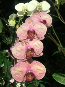 Phalaenopsis 'Younghome Golden Leopard' is a hybrid with beautiful peach and salmon-colored flowers and stripes. Phalaenopsis orchids can be grown as indoor plants as long as they get a sufficient amount of light and air circulation.